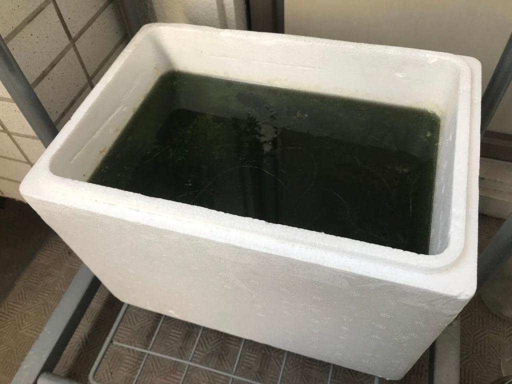 メダカの飼育をしている発泡スチロール容器