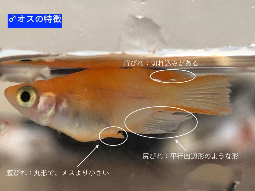 メダカのダルマ体型のオスの特徴