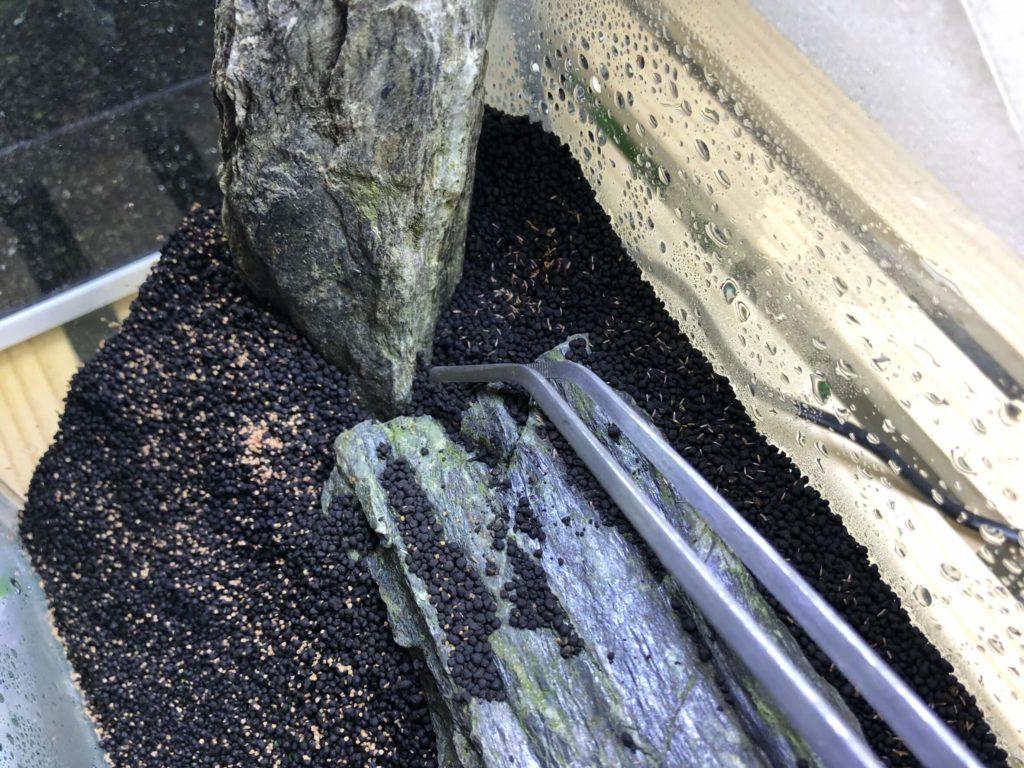 生えた菌糸をピンセットで取り除く