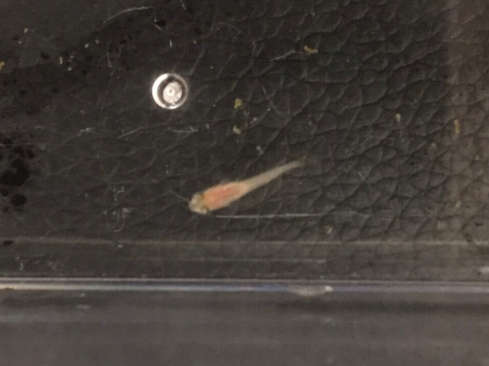 楊貴妃メダカの稚魚
