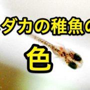 メダカの稚魚